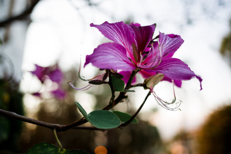 Backlit fucsia flower at magic hour near the Santa Barbara Courthouse shot by Alison Photography.
