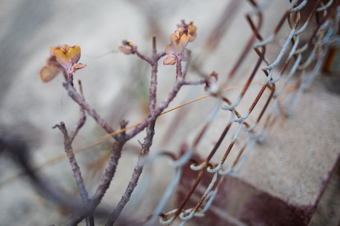 Interesting plant growing through a chain link fence shot at magic hour in Santa Barbara by Alison Photography.
