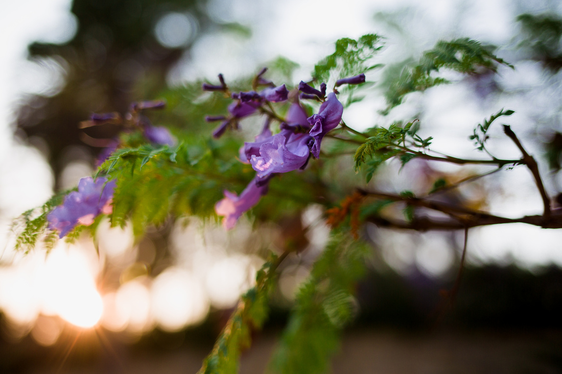 Backlit Jacaranda flowers at golden hour in Santa Barbara photographed by Alison Photography.
